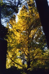 Ginkgo biloba - Maiden Hair Tree