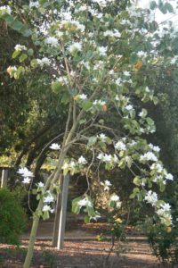 Bauhinia variegata 'Candida' - White Orchid Tree