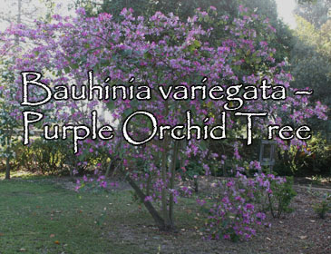 Bauhinia variegata – Purple Orchid Tree