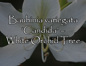 Bauhinia variegata 'Candida' – White Orchid Tree
