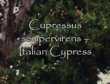 Cupressus sempervirens – Italian Cypress