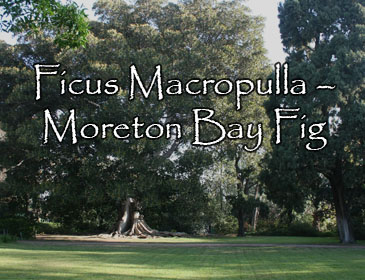 Ficus Macropulla – Moreton Bay Fig
