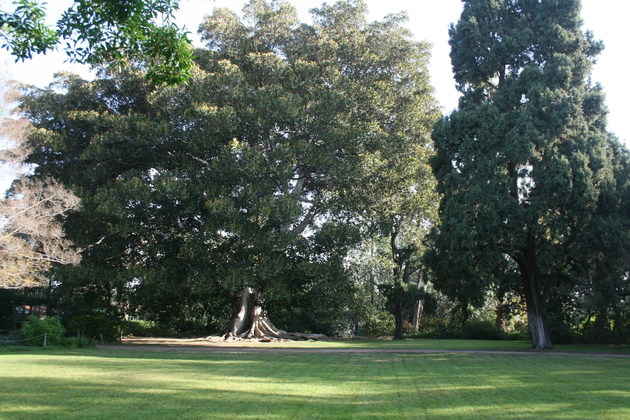 Ficus Macropulla - Moreton Bay Fig