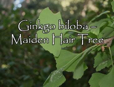 Ginkgo biloba – Maiden Hair Tree