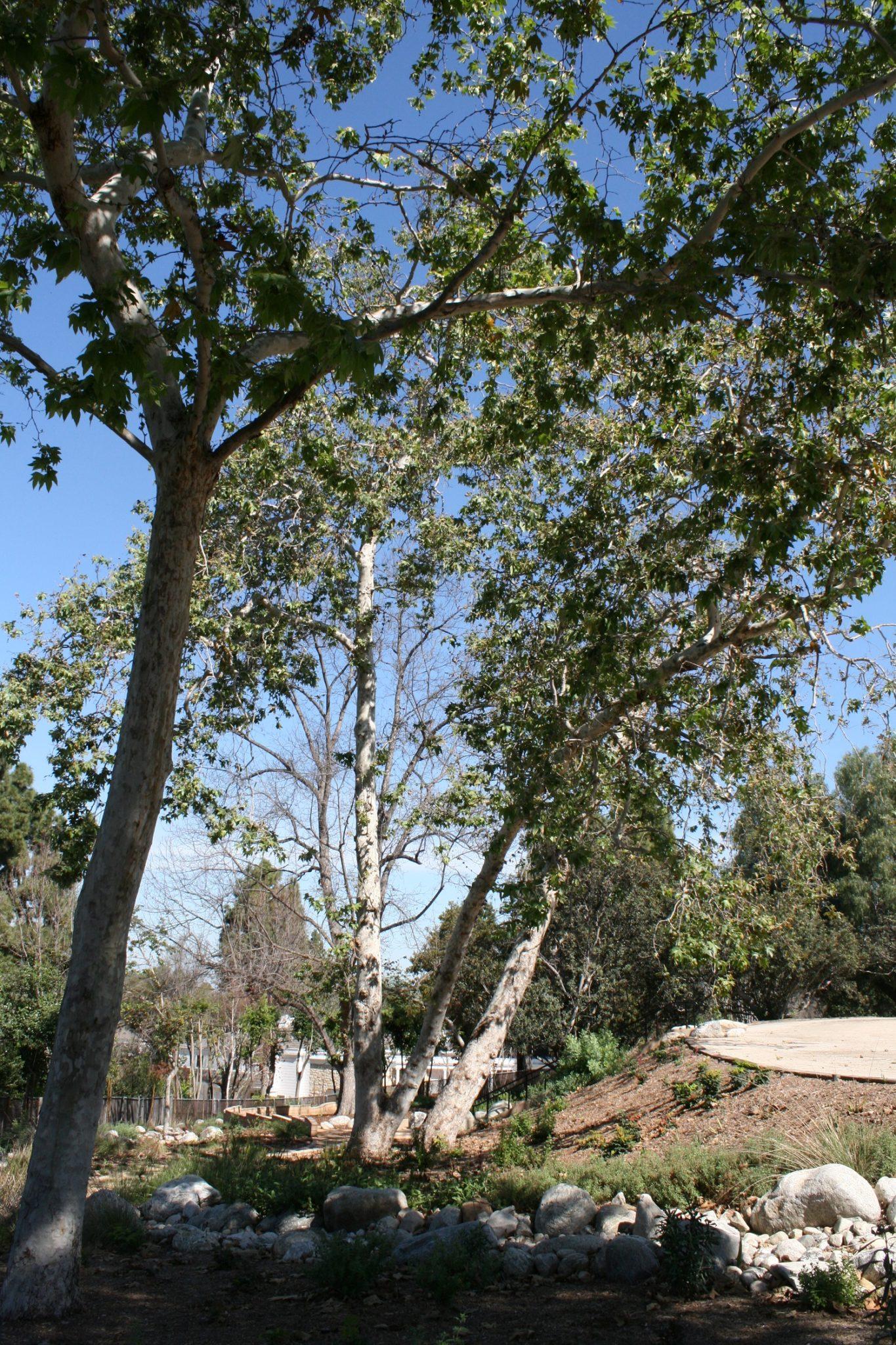 California Sycamore – Platanus racemosa