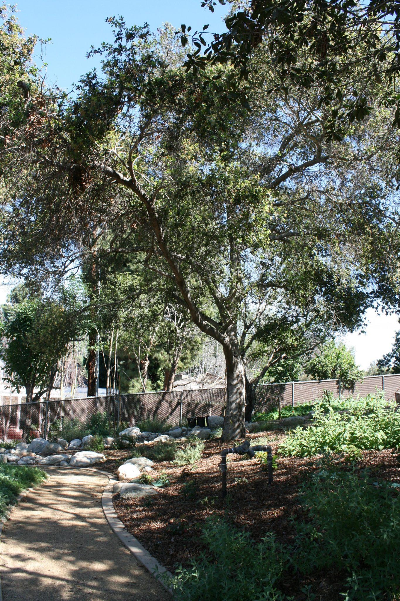 Coast Live Oak - Quercus agrifolia