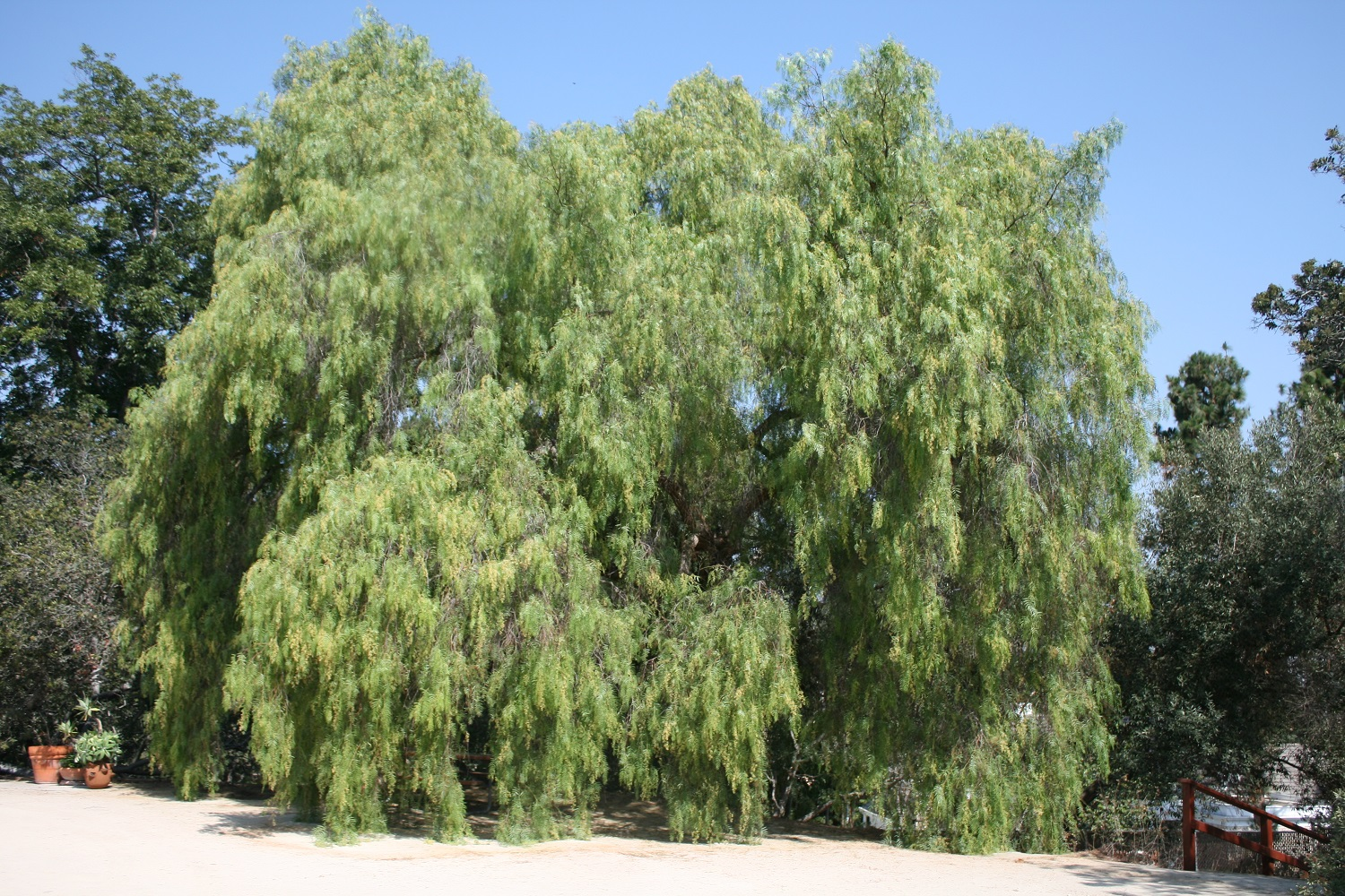 Pepper Tree - Schinus molle