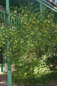 Jasminum mesnyi – Primrose Jasmine