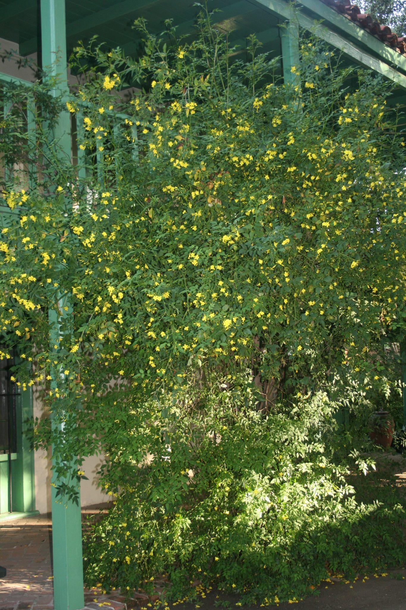 Jasmine – Jasminum mesnyi