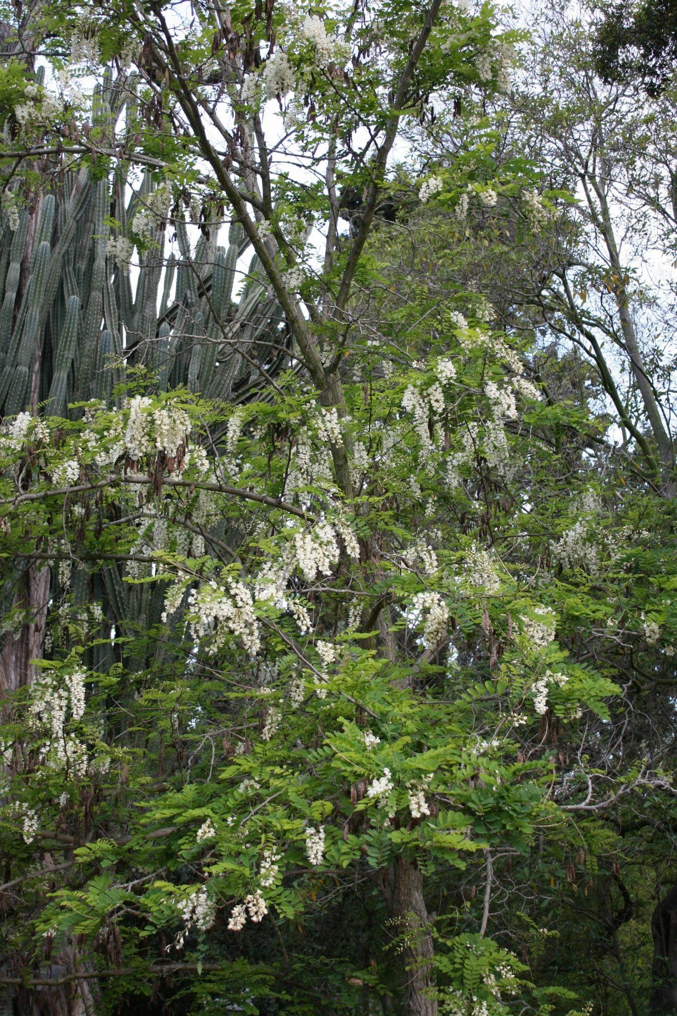 Robinia pseudoacacia - Black Locust