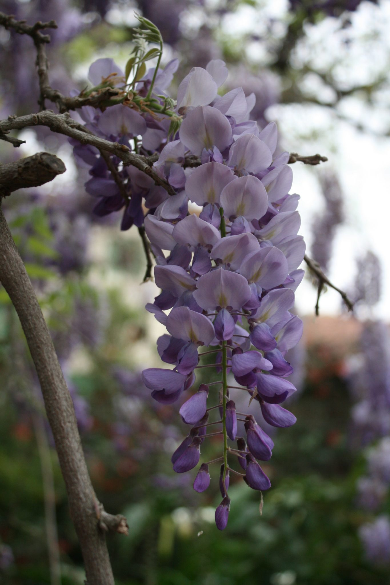 wisteria sinensis  chinese wisteria  rancho los cerritos, Natural flower