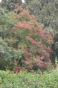 Crape Myrtle – Lagerstromia indica