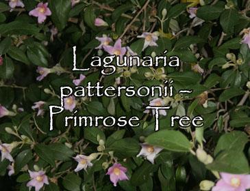 Lagunaria pattersonii – Primrose Tree