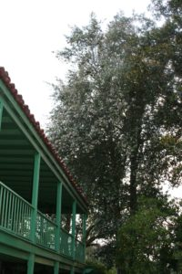 Lagunaria pattersonii - Primrose Tree