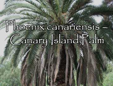 Phoenix canariensis – Canary Island Palm