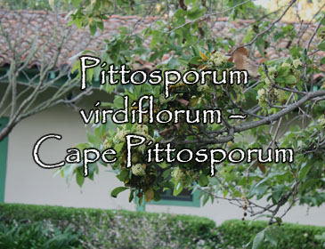 Pittosporum virdiflorum – Cape Pittosporum