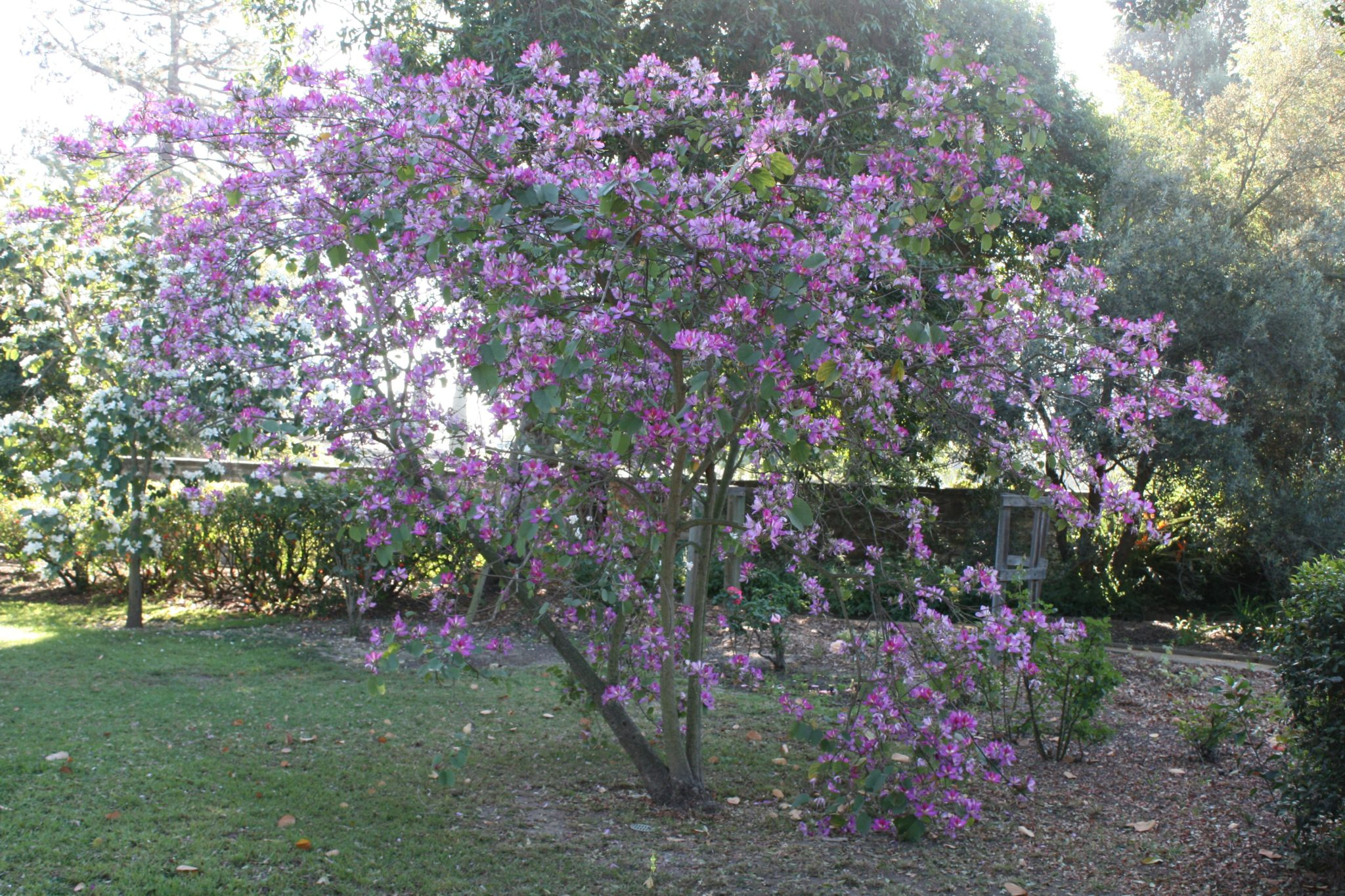 Bauhinia variegata - Purple Orchid Tree