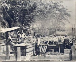 Sheep Shearers in Late 1800s