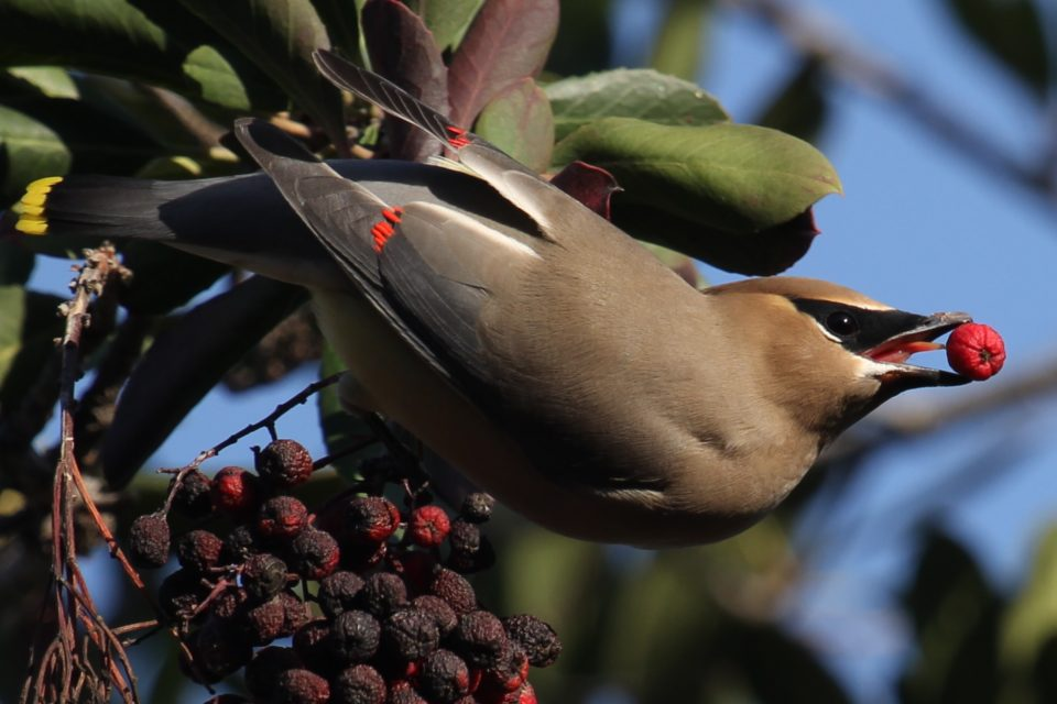Cedar Waxwing Long Beach