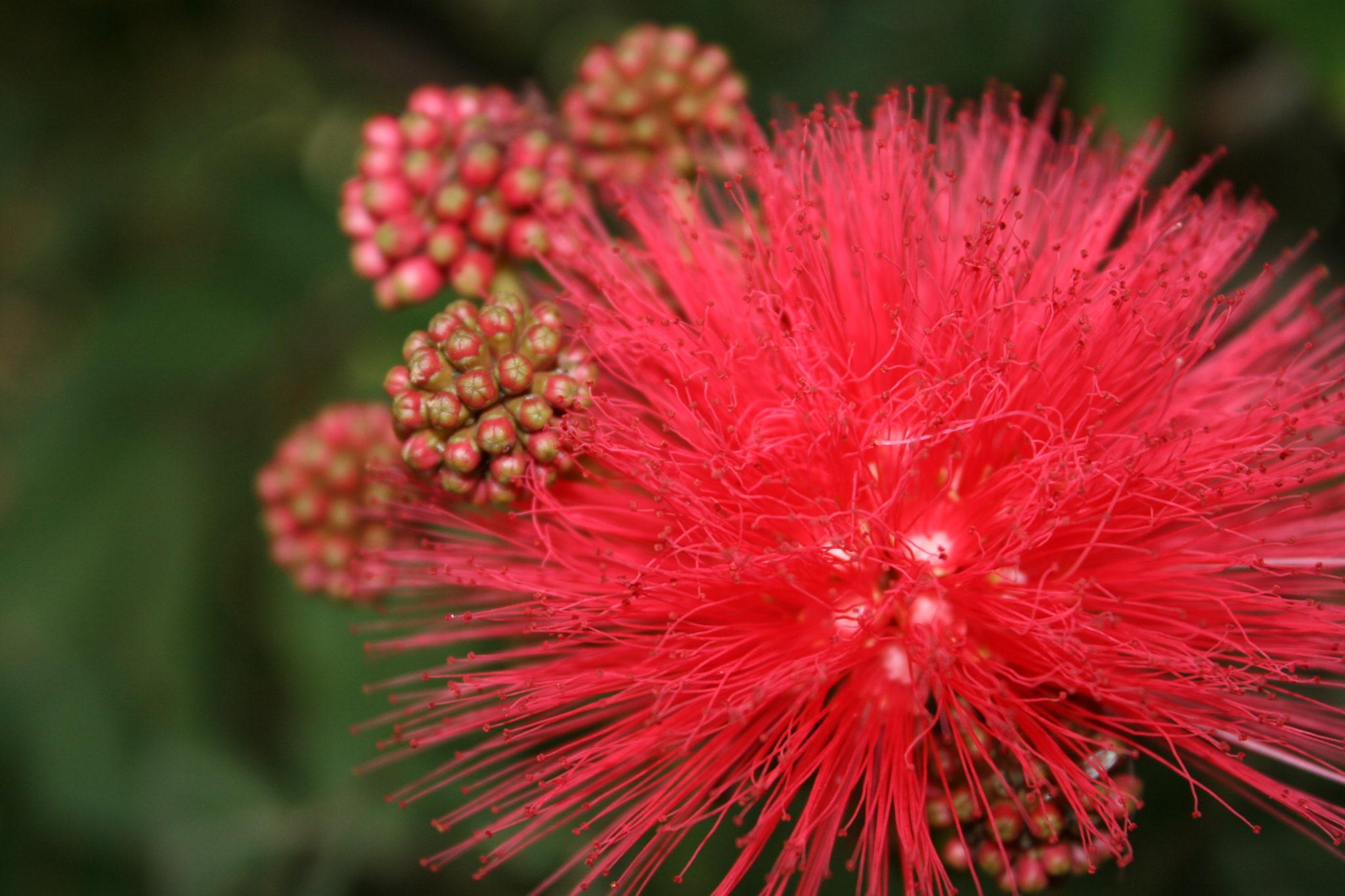 Pink Powder Puff - Calliandra haematocephala
