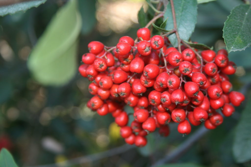 Toyon red berries