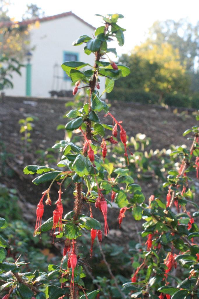 IMG_3477 Ribes speciosum