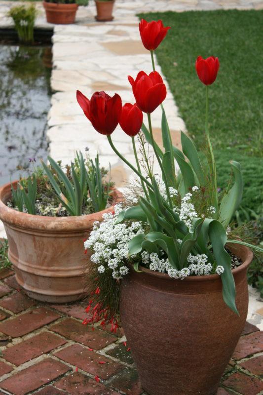 Tulip 'Kingsblood'