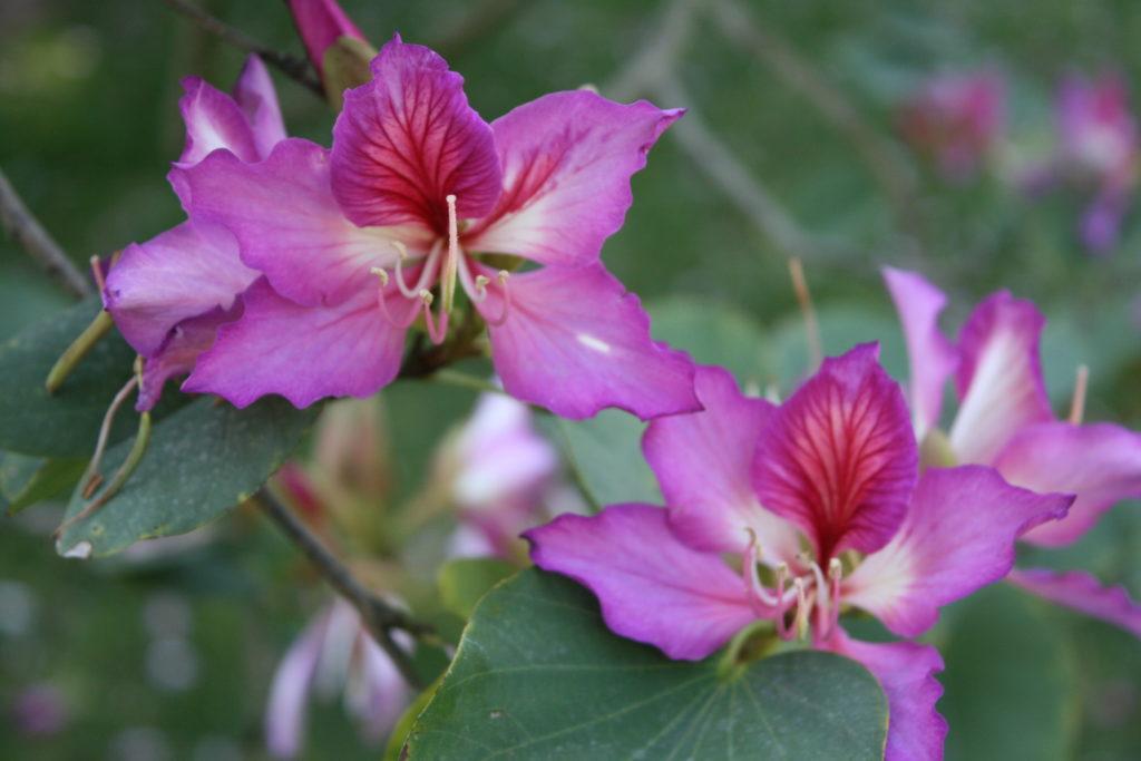 Bauhinia variegata (purpurea) Purple Orchid Tree