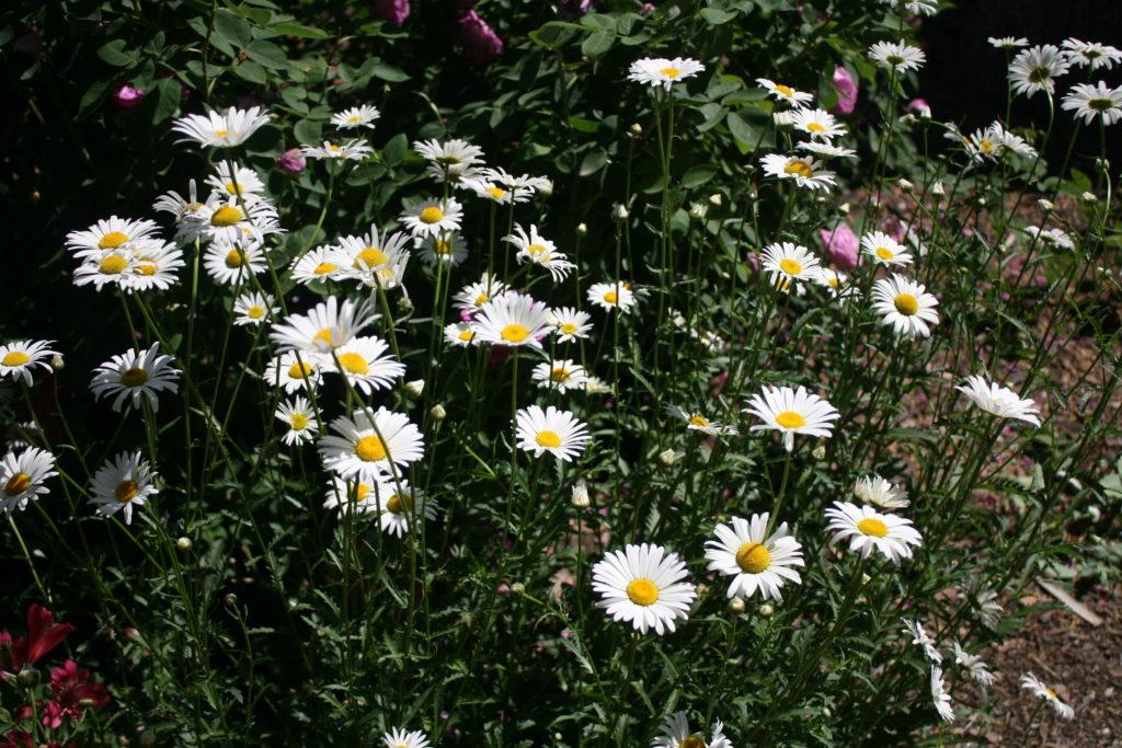 Chrysanthemum  Leucanthemum maximum Shasta Daisy
