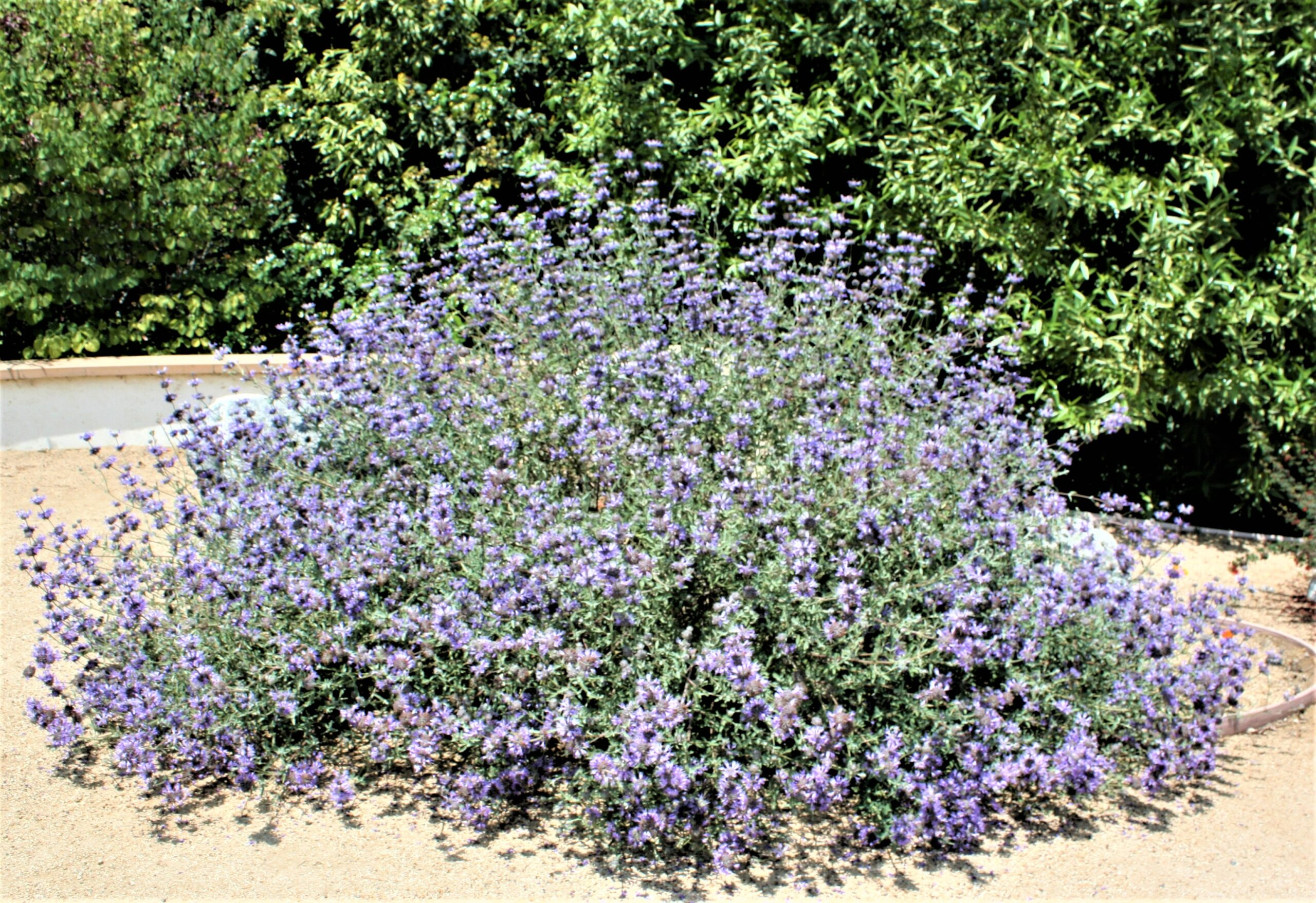Cleveland Sage near the Visitor Center