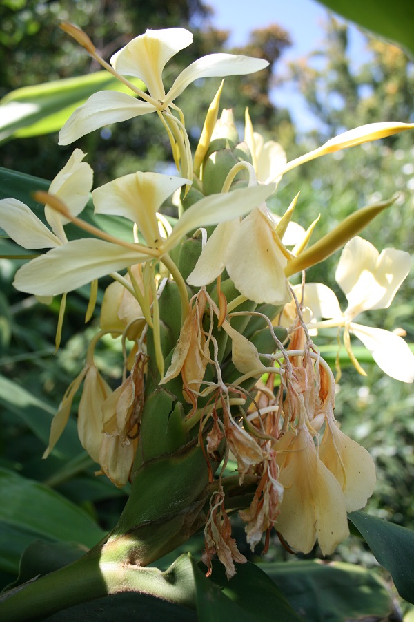 Hedychium, ginger lily