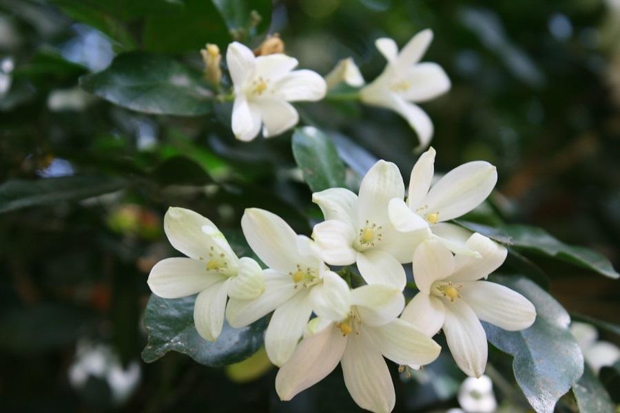 Murraya paniculata, orange jasmine, ange jessamine, chalcas