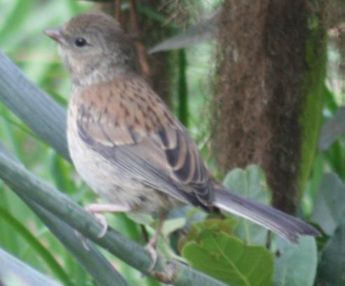A fledged Junco (pictured), just one of many birds one may experience during Rancho Los Cerritos' Bird Walk Thursday, September 12, 2019, 8-9:30 a.m.