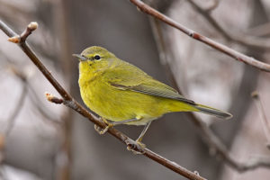 Orange Crowned Warbler (stock image)