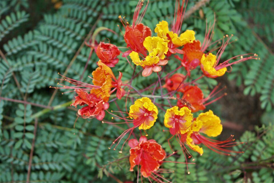 Red Bird of Paradise or Poinciana (Caesalpinia pulcherrima)
